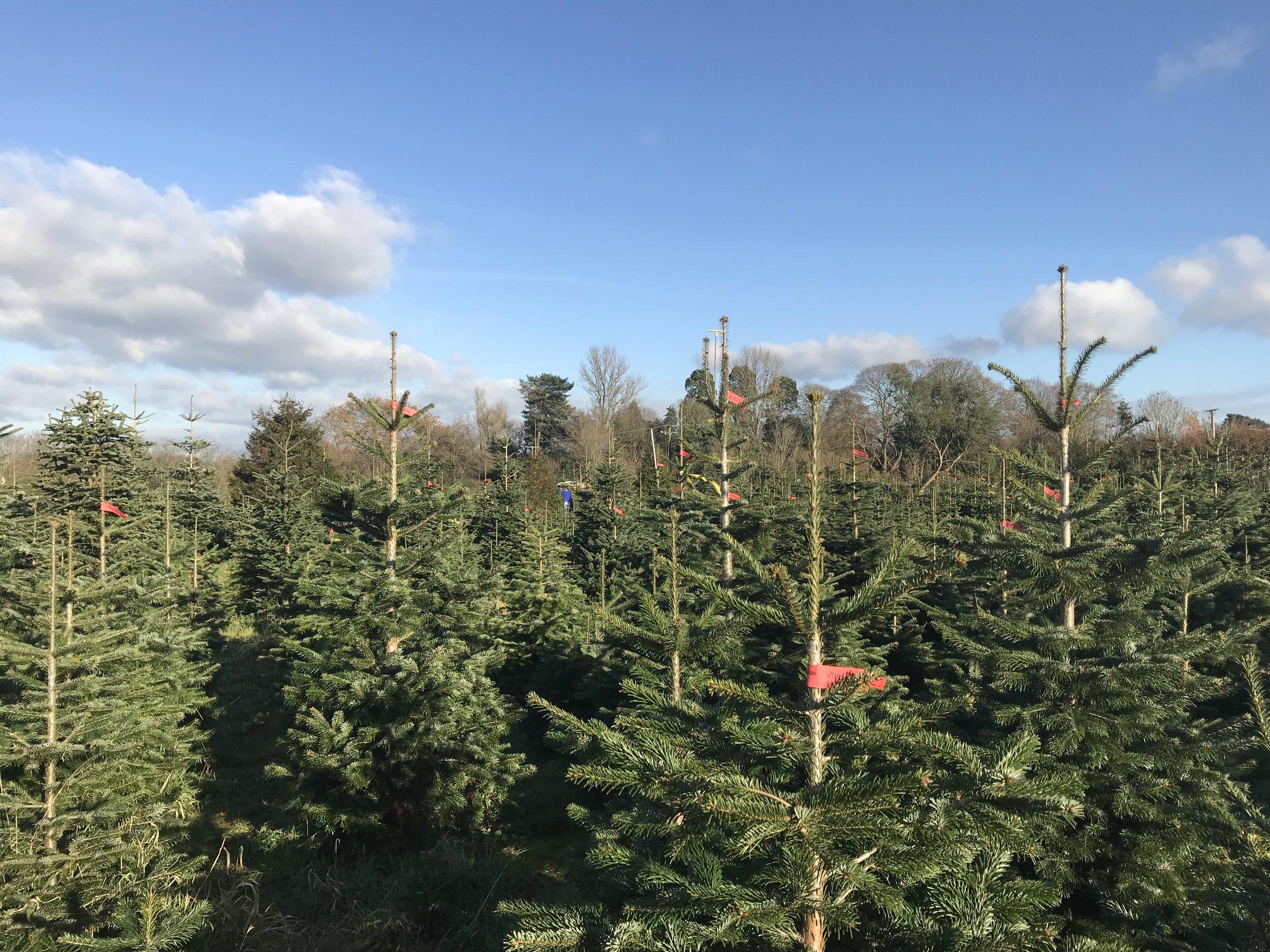Frenchay Christmas Tree Farm, a magical land of joy!