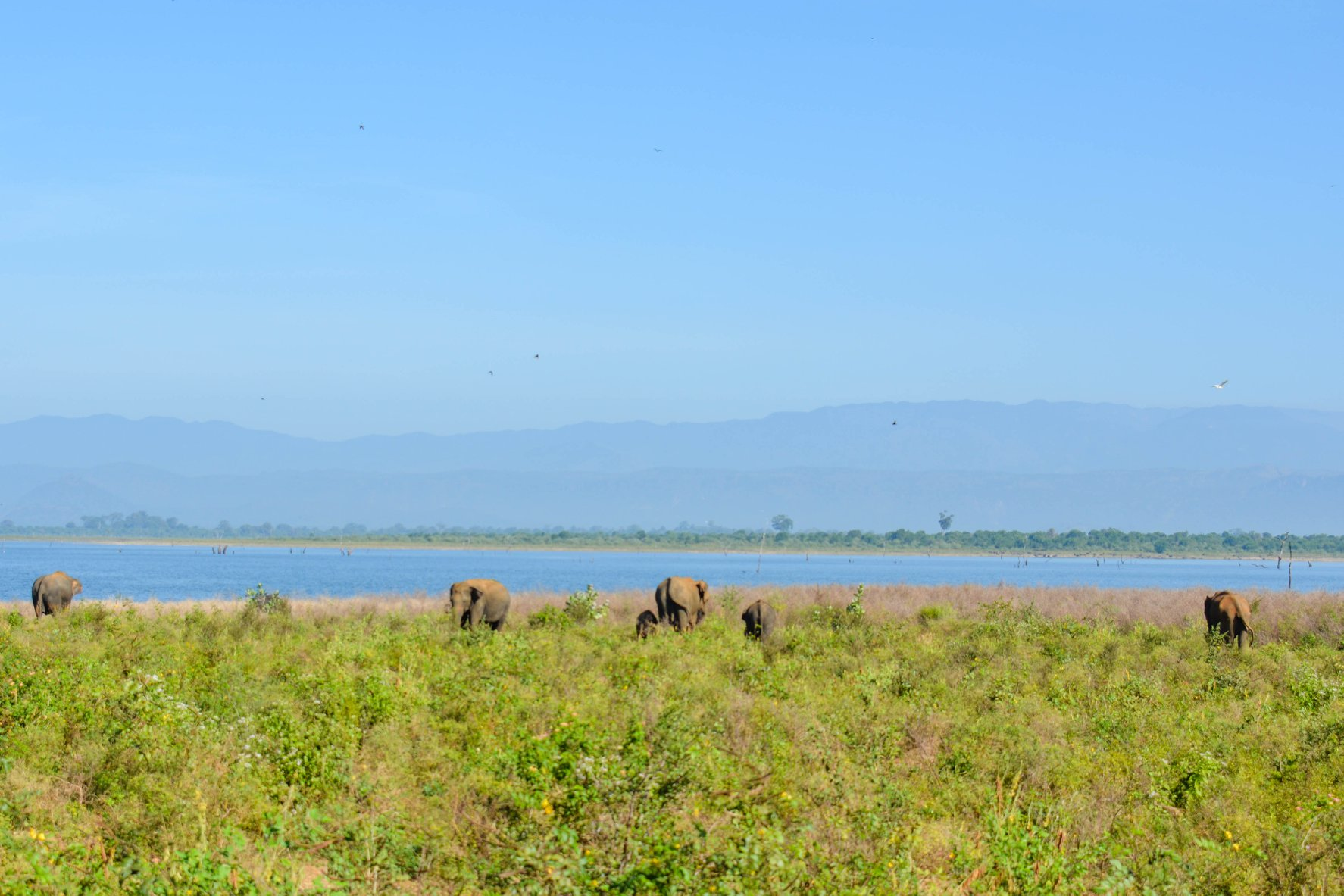 Elephants at Udawelawe