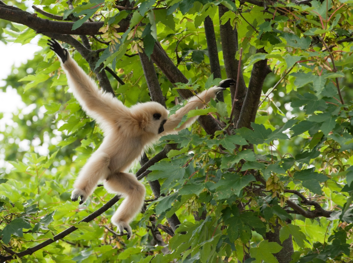 1200-165891494-gibbon-swinging.jpg