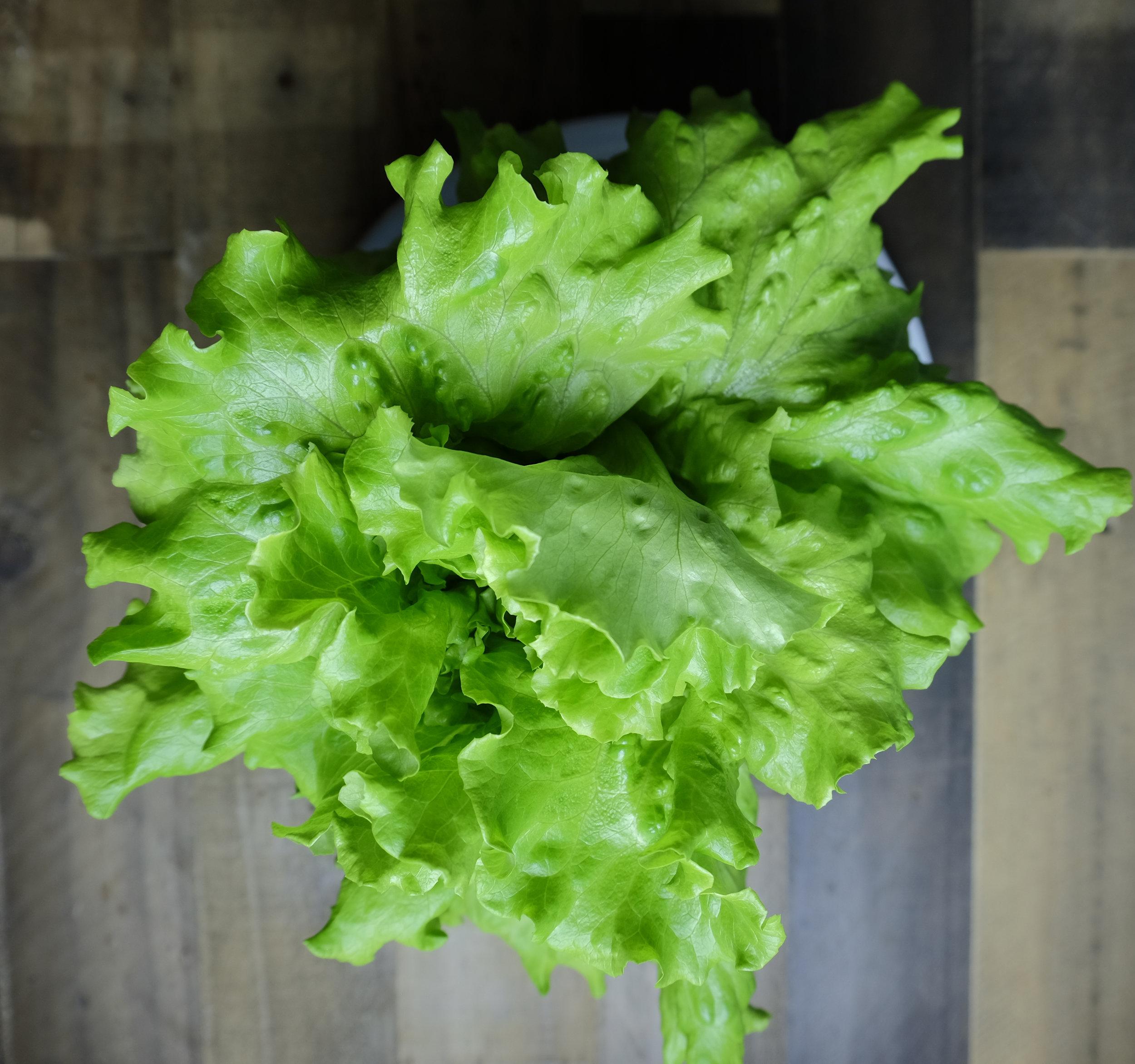 Summer Crisp Lettuce
