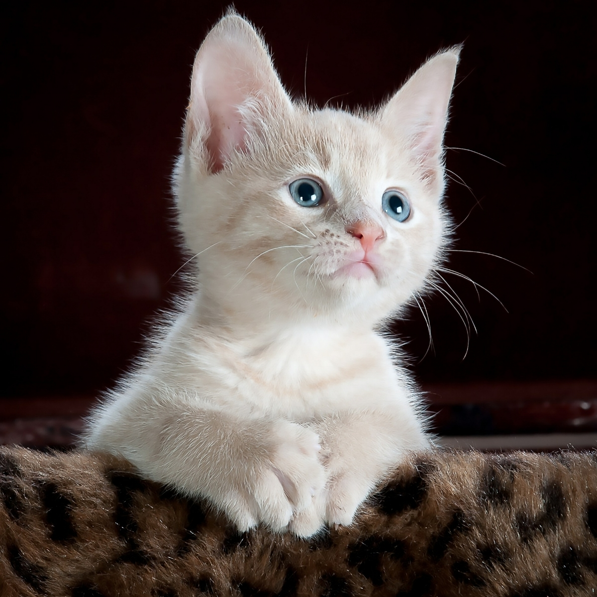 If this kitten isn't worrying about emergency talks with the Financial Conduct Authority over the impact of its collapse on existing customers, we have no idea what it's doing.