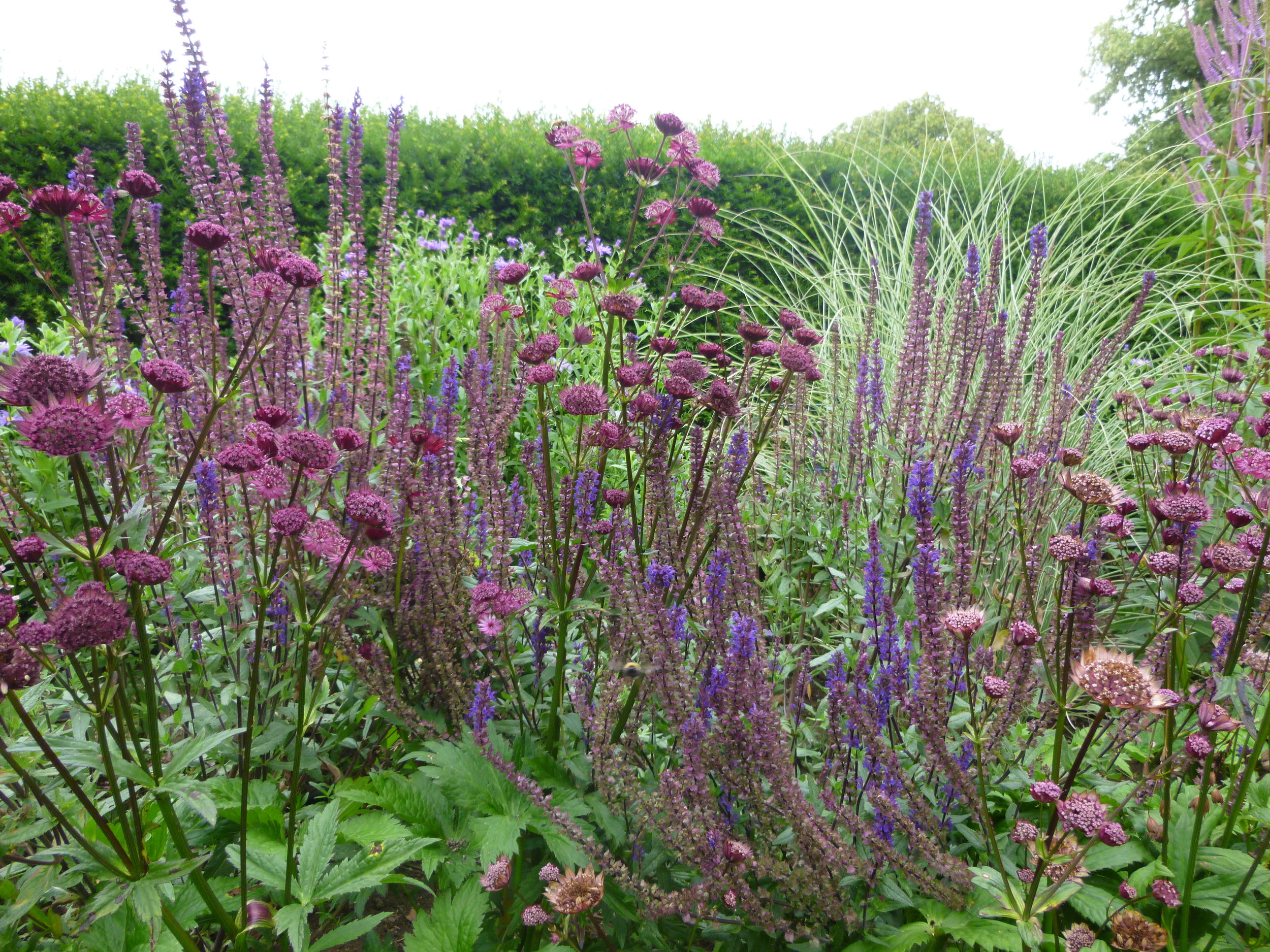 Palette of purple, pink and white: Spires of  Salvia Carradonna  with  Astrantia Ruby Wedding  and  Miscanthus Morning Light  in the background.