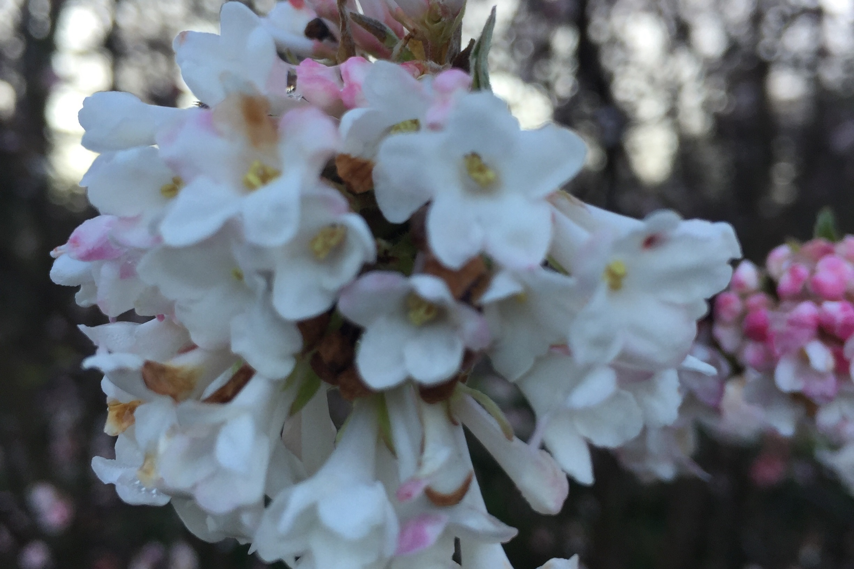 Photo 4. Viburnum x bodnantense 'Charles Lamont'
