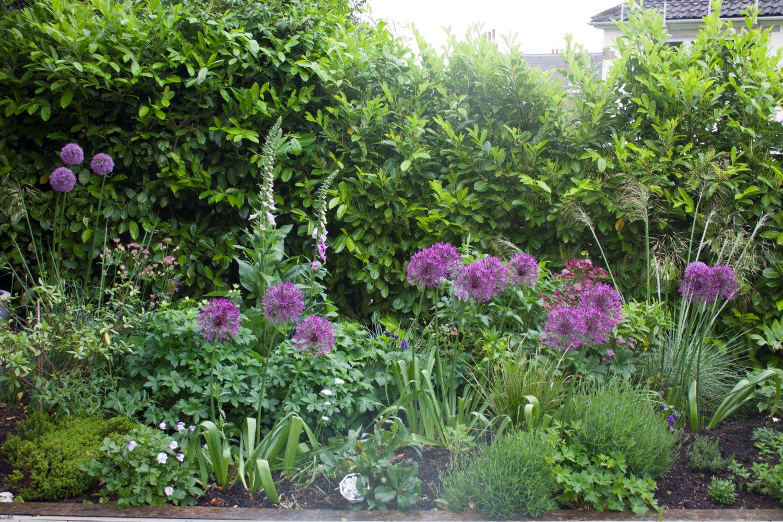 Alliums and foxgloves