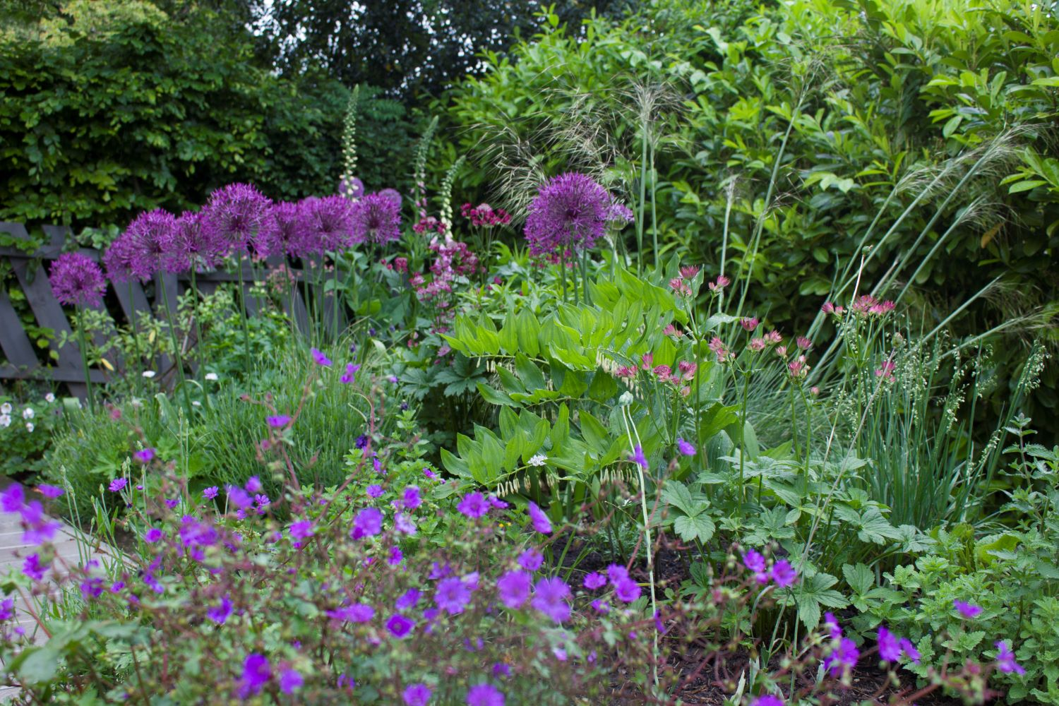 Pretty combination of alliums and geraniums surround the decks