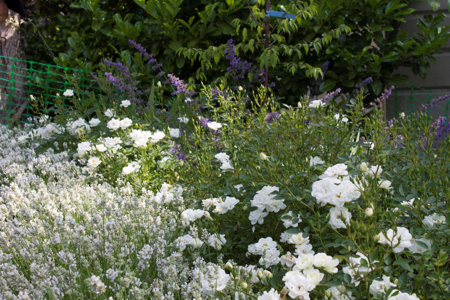White rose and lavender (Rosa 'Kent' and Lavandula 'Artic Snow')
