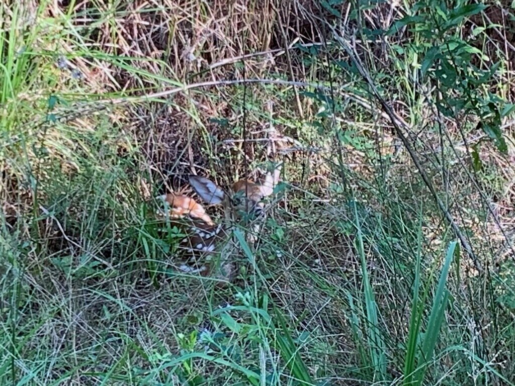 Photo: Tommy Harvell  Do you see the spots? Hiding quietly in the weeds, a newborn deer waits for its mother just north of Crestview.