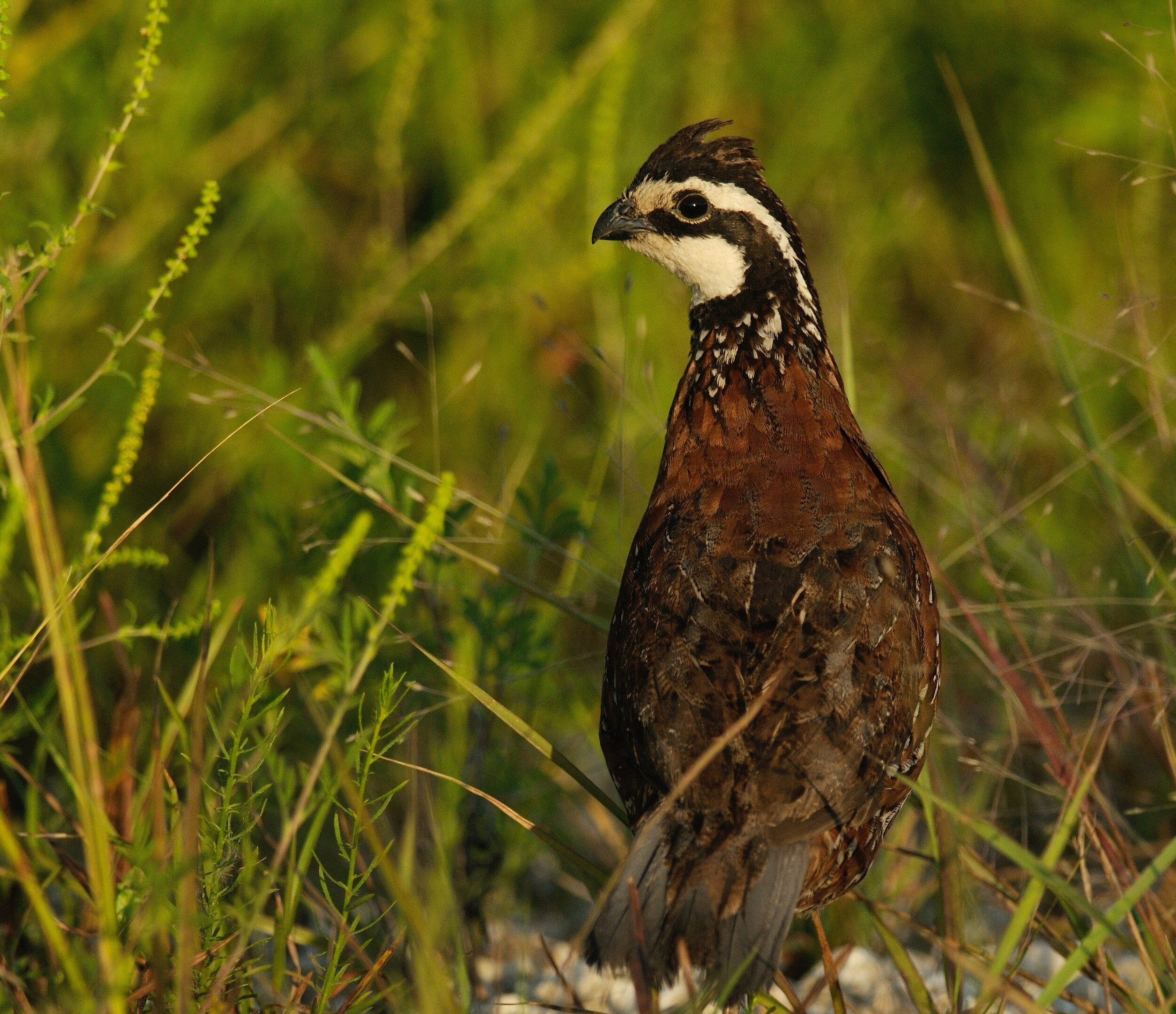 Photo: Tom Dunkerton  Florida panhandle landowners who lost huge timber crops may want to incorporate quail into their timber replanting strategy.
