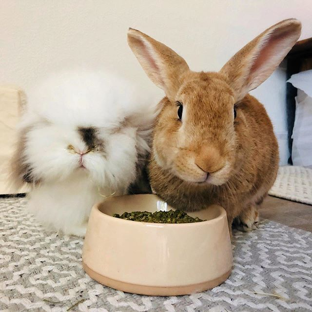 """Lola and Buck: """"You want to take a picture of us eating? Go ahead, just make it quick!"""" 🐰❤️🐰💕 •  #rabbits #bunnies #rabbitsofinstagram #bunniesofinstagram #bunnylove #bunniesworldwide #rabbitsofig #rabbitstagram #bunniesofig #rabbit #bunny #fabbunnies #bunnyrabbit #bunnyoftheday #lapin #minilop #netherlanddwarf #houserabbit #rabbitsworldwide #bunnystagram #instabunny #bunnylover #bunnygram #sgbuns #bunnylife #hollandlop #instarabbit #kanin #bunstagram #rabbitlove"""