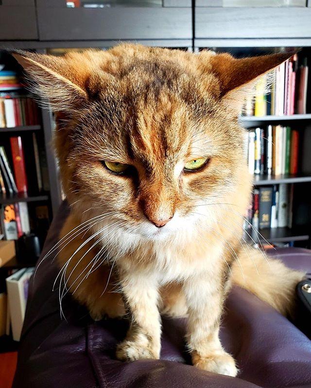 "Lola: ""This is my best 'Grumpy Cat' impression. What do you think? Did I nail it or what?"" 😸👌💫💕 • • • • #cats #catsofinstagram #catstagram #instacat #catlover #kitty #kitten #catoftheday #meow #kittens #catsagram #ilovemycat #catlovers #pets #cats_of_instagram #猫 #gato #lovecats #ねこ #neko #petstagram #bestmeow #animals #catsofig #instagramcats #cutecat #animal #cat_features #kittycat #instacats"