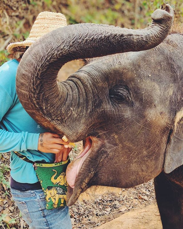 Oh my gracious ... I'm so obsessed with all the elephants. @mariaenroute and I had an amazing day feeding, hiking and bathing one adult and three babies. This rescue park takes excellent care of these beautiful creatures. Blog post coming soon!! . . . . . #elephant #elephants #elephantlove #elephanttattoo #elephantprint #elephantlover #elephantsareawesome #elephantsanctuary #elephantsarecute #wildlife #wildlifephotography #elephantrescue #savetheanimals #nature #wildlife #elefante #elephantsrule #chiangmai #thailand #travelasia #travelwithme #traveldeeper #journal #wy_co #digitalnomad #travelwithme #bucketlist #joy #dream #travelbloggers #indyblogger