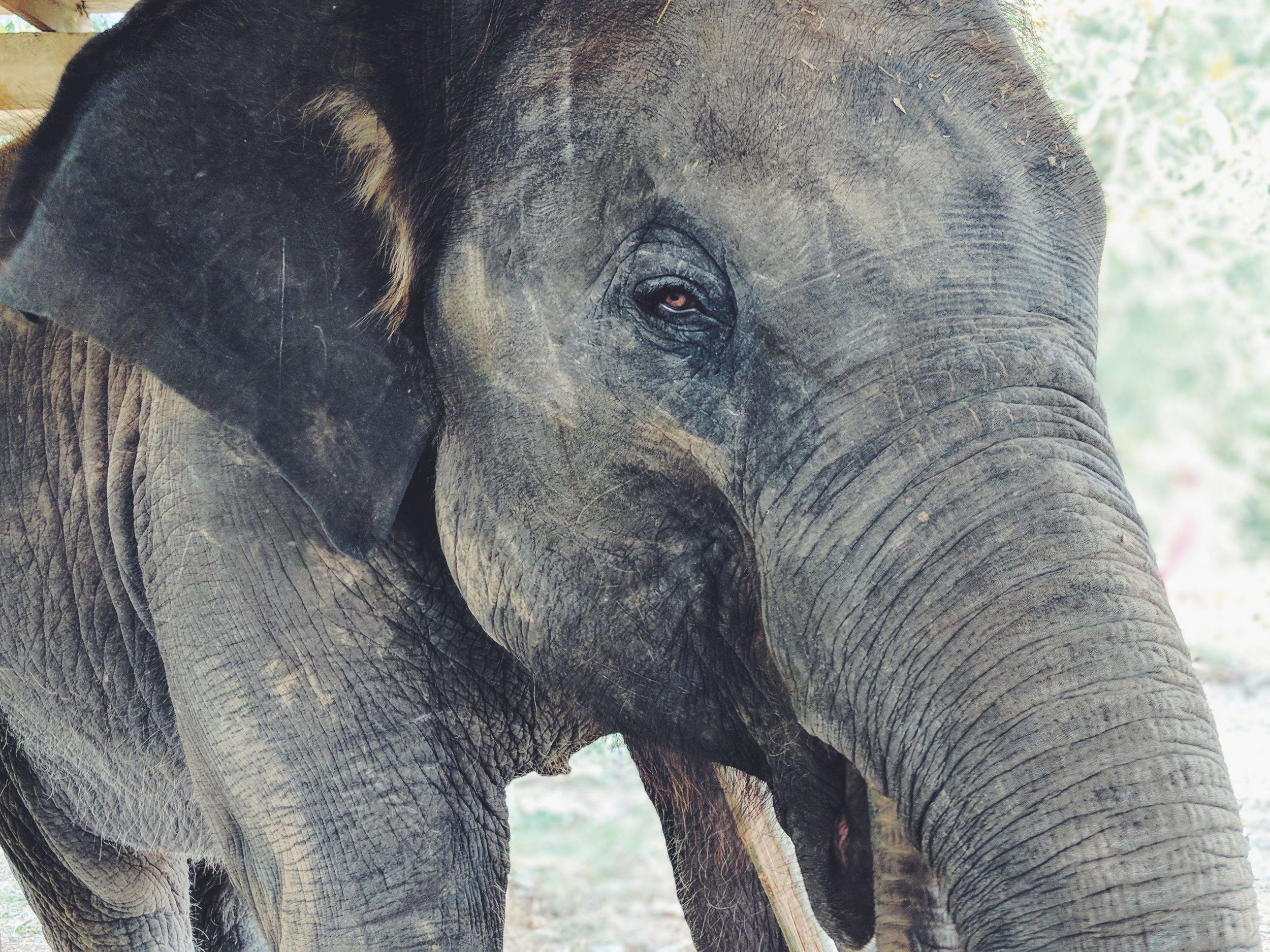 35 Year Old Female Elephant at Elephant Rescue Park in Chiang Mai, Thailand
