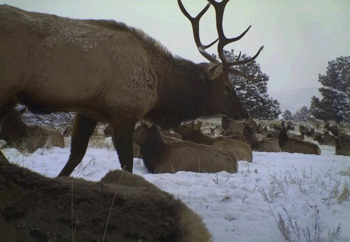Large elk herd.