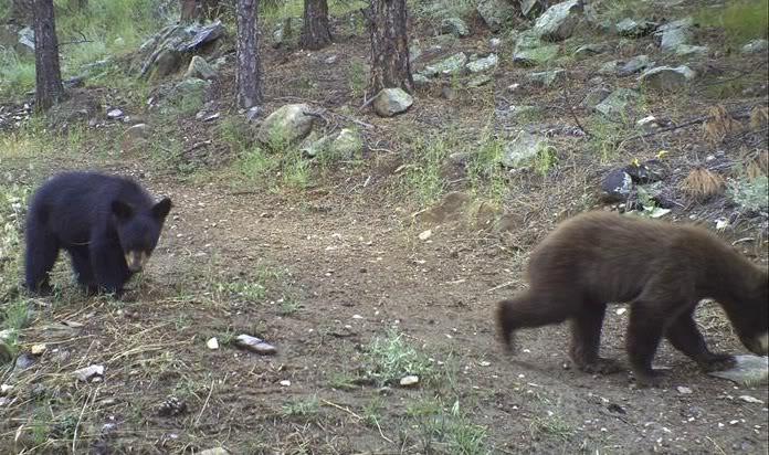 Black bear cubs.