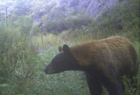 Cinnamon black bear.