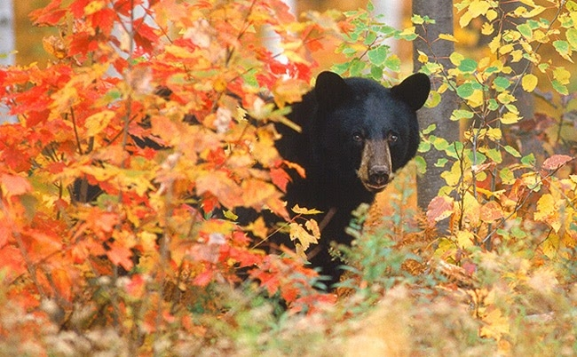 Photo from InOtterNews.com...but the bears I saw looked very much like this one.