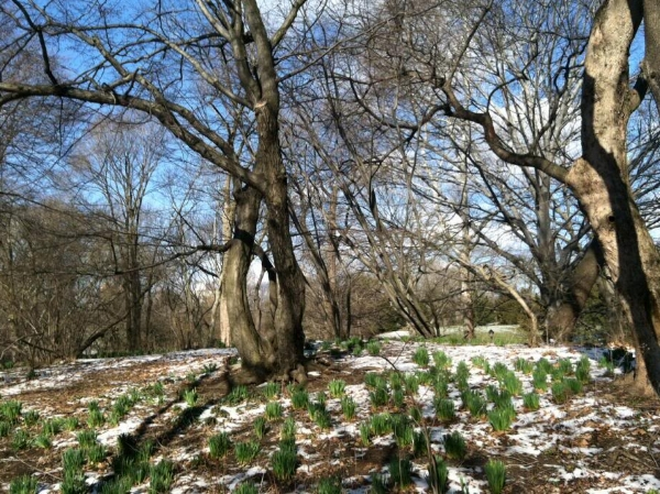 Crocuses and daffodils sprouting up through the snow in Central Park on the first day of spring