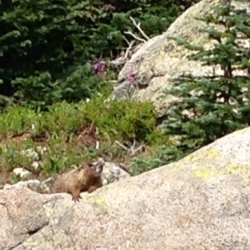 Marmots were out in large numbers today, too.