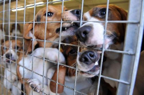 Beagles are frequently used in animal testing.