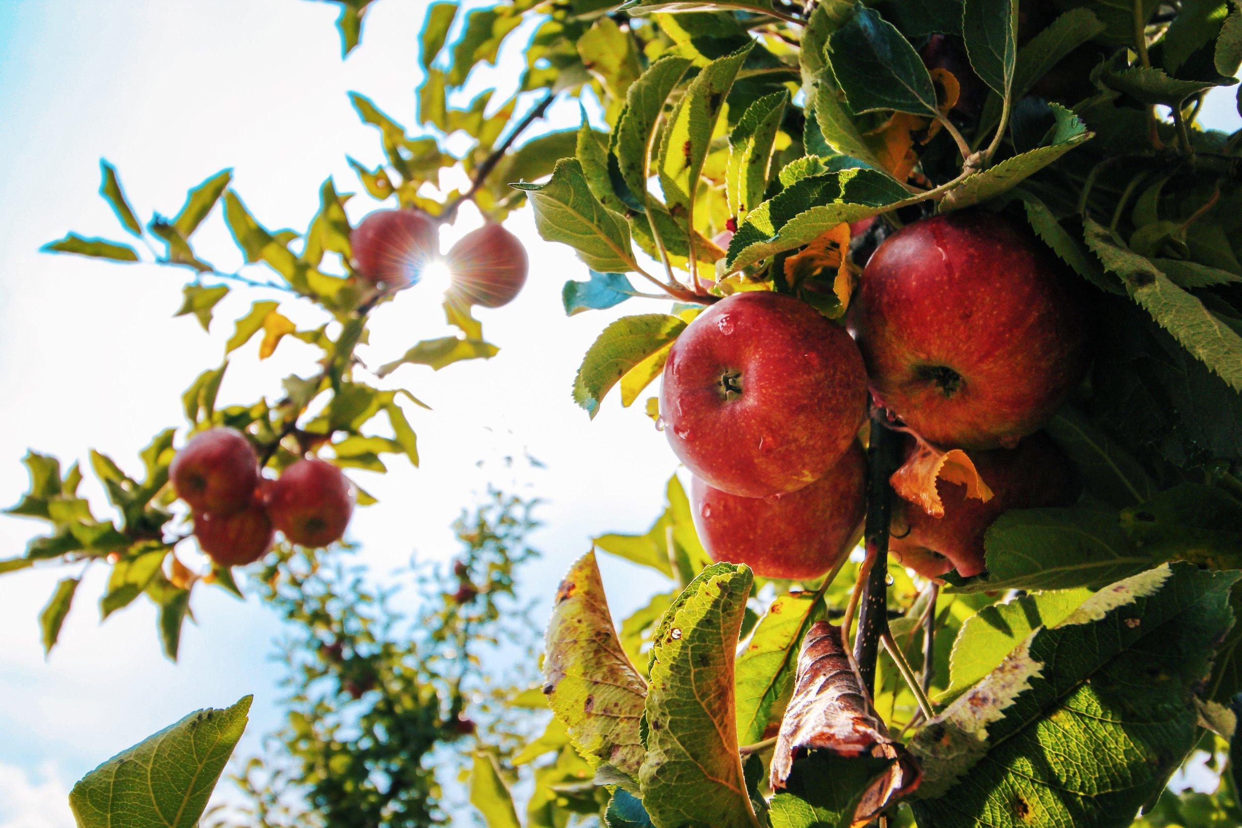 apple-apple-tree-apples-574919 (1).jpg