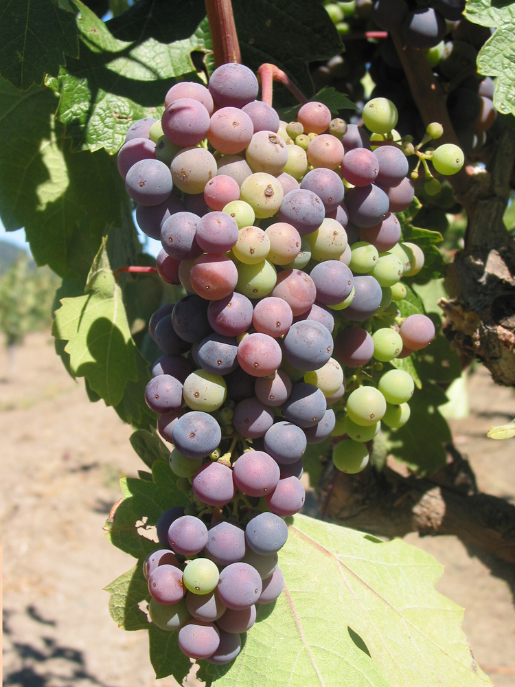 Zinfandel, the notoriously  uneven ripener