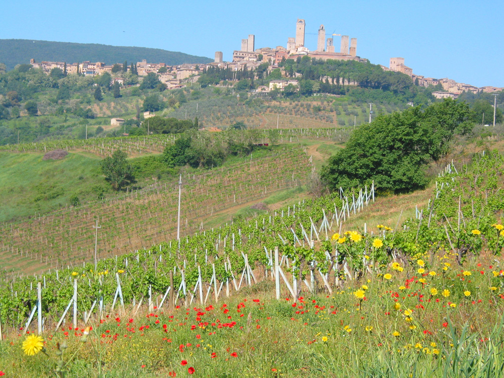 Vernaccia vineyards with a view of San Gimignano's famous towers