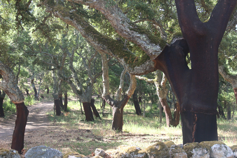 Cork trees on the road to Peppino Molinas, Italy's largest cork factory.
