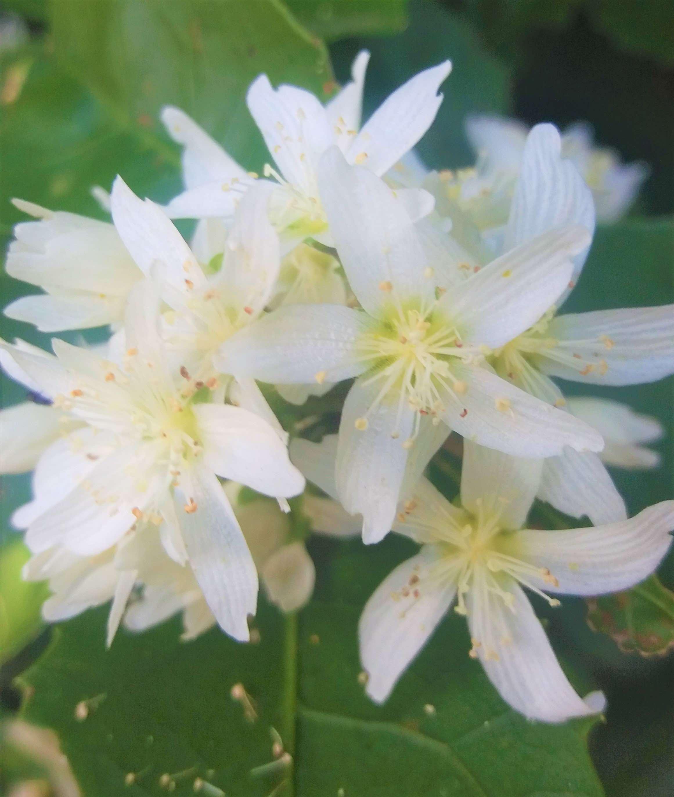Hoheria Flower 1.jpg