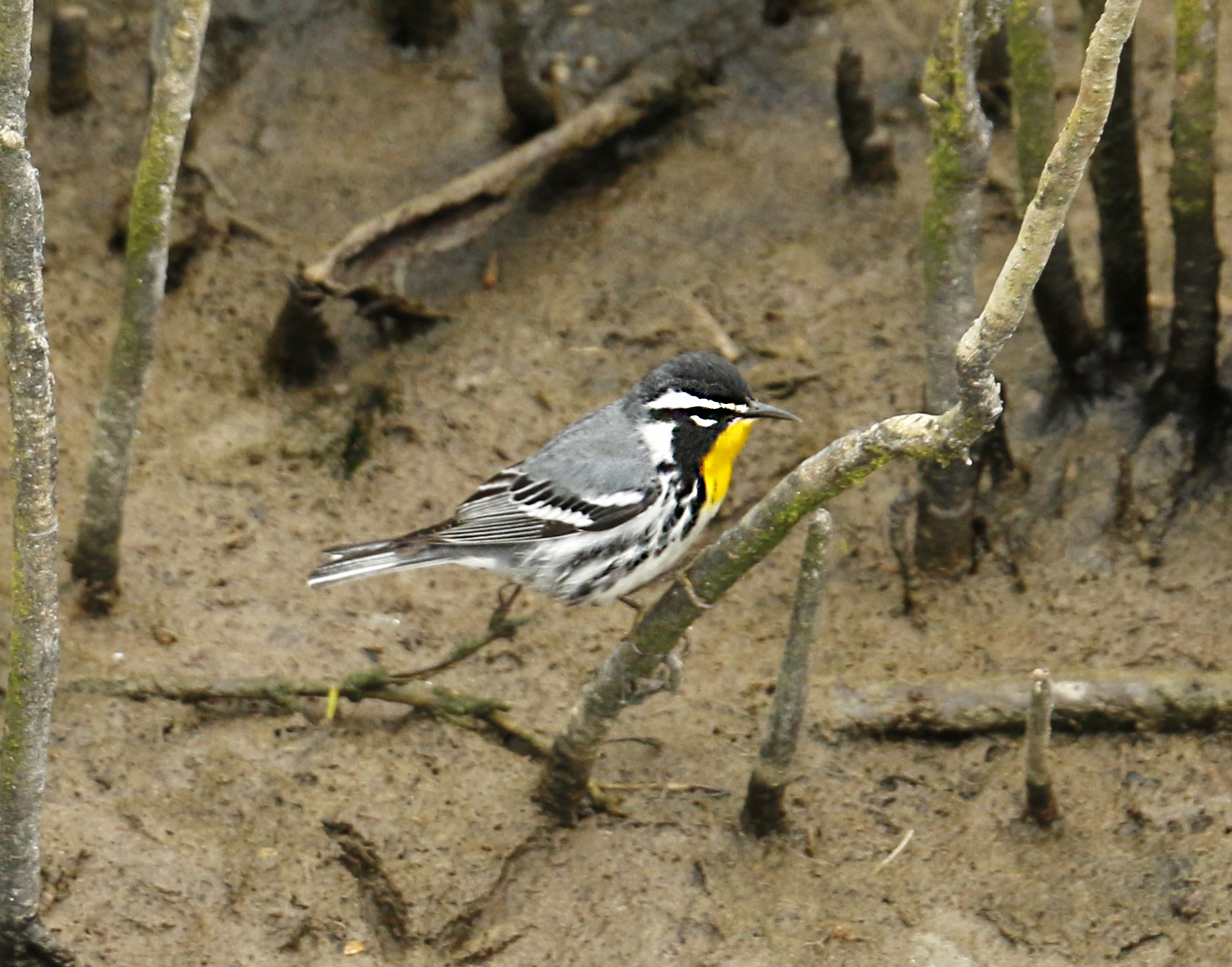 yellow throat_warbler.jpg