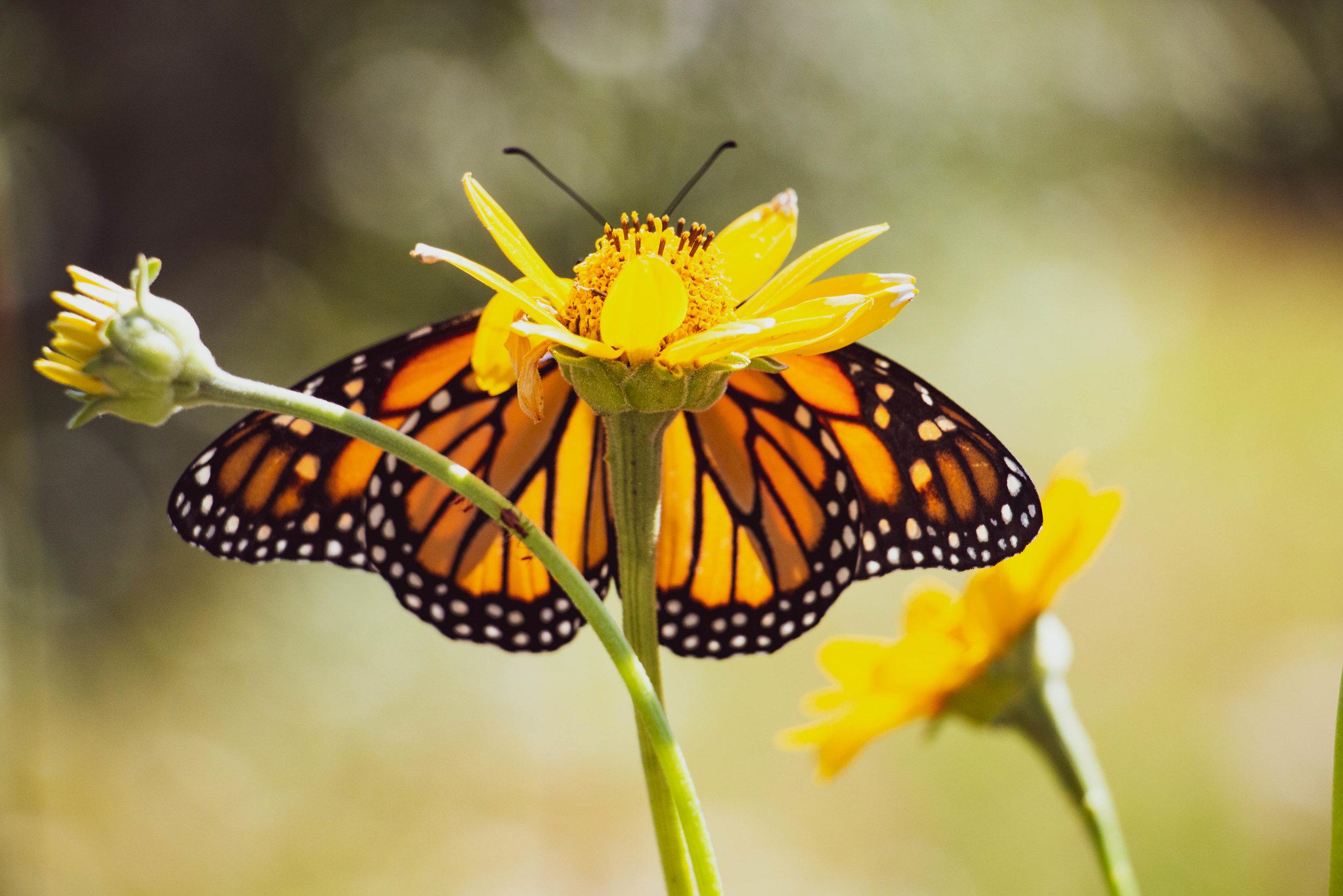 Monarchbutterfly.jpg
