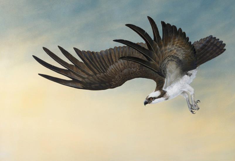 Osprey - Tim Hayward