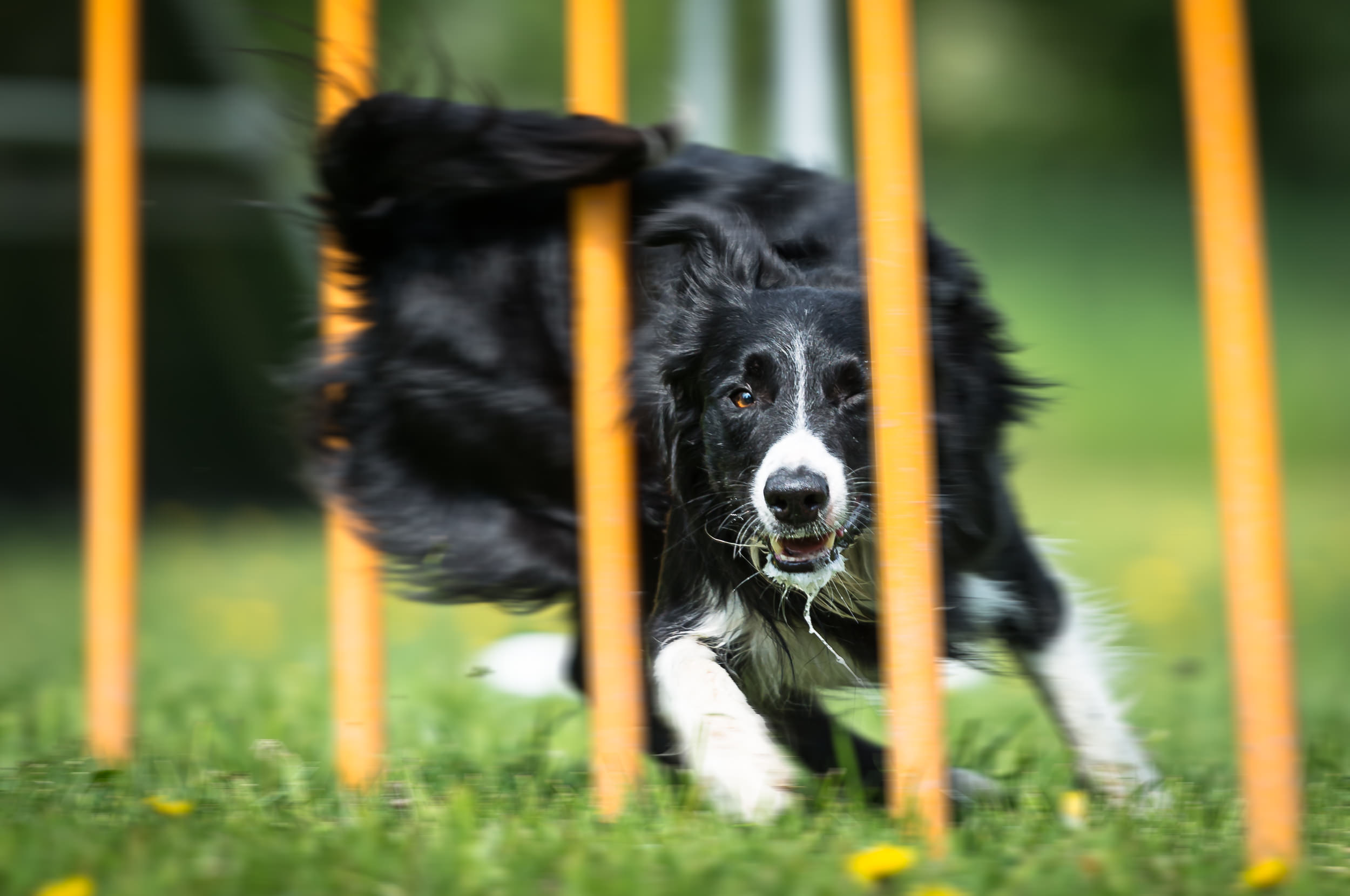 Hundfoto - Border Collie