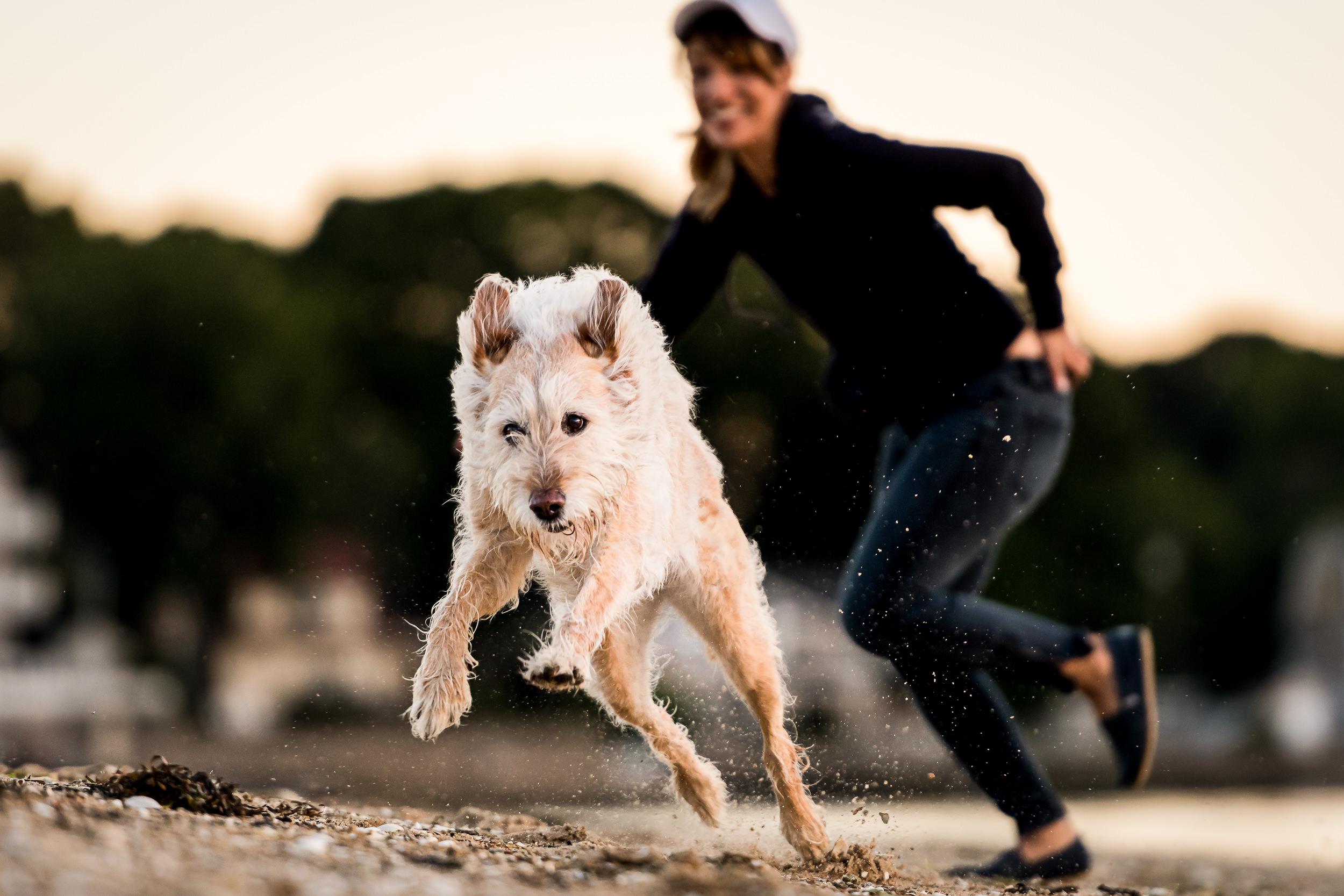 Hundfoto - Labradoodle