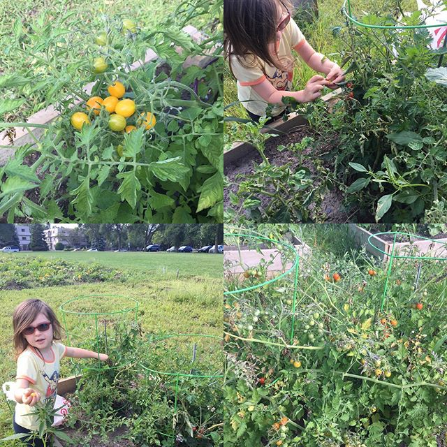 One of the great joys I have in being a Giving Gardener is being able to spend time with this young lady (and all my kids). It has been amazing to watch her grow over the past 2 years in her capacity for kindness as she is gaining a greater understanding of growing for the benefit of our neighbors. Here she is picking cherry tomatoes out of the garden beds at White Bear Lake United Methodist Church @wblumc Community Garden that will be taken to the White Bear Senior Program.
