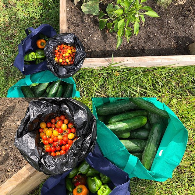 A beautiful Tuesday harvest pulled out of the Giving Gardens at the @wblumc Community Garden by our lovely intern @anaprusha who has been helping us out this summer from the @uofstthomasmn Ana checked in this donation of 29 lbs of freshly picked produce at the @whitebearfoodshelf