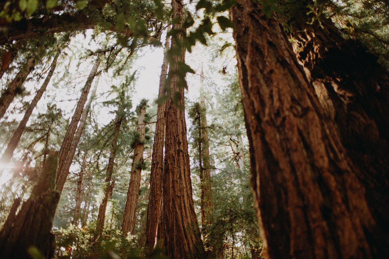redwoods in california