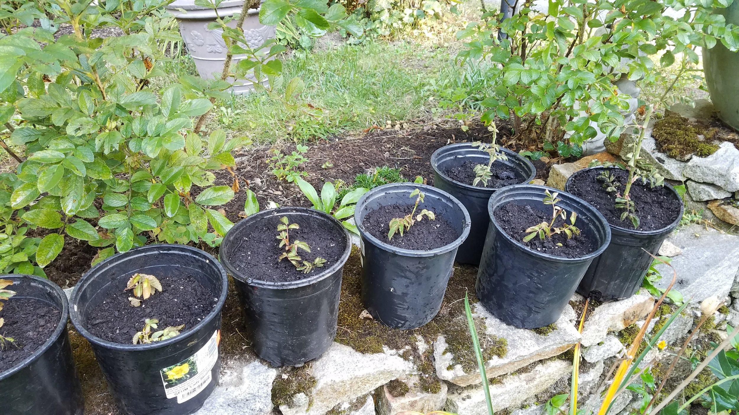 Rosa Rubignosa seedlings