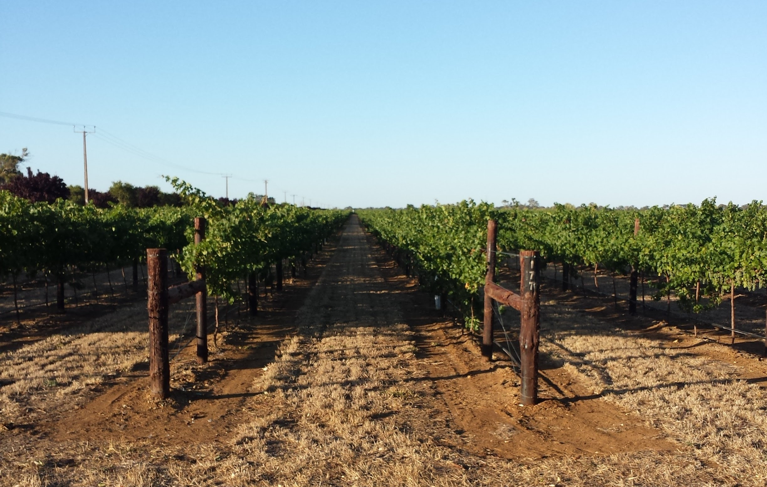 The vines lapping up the sun