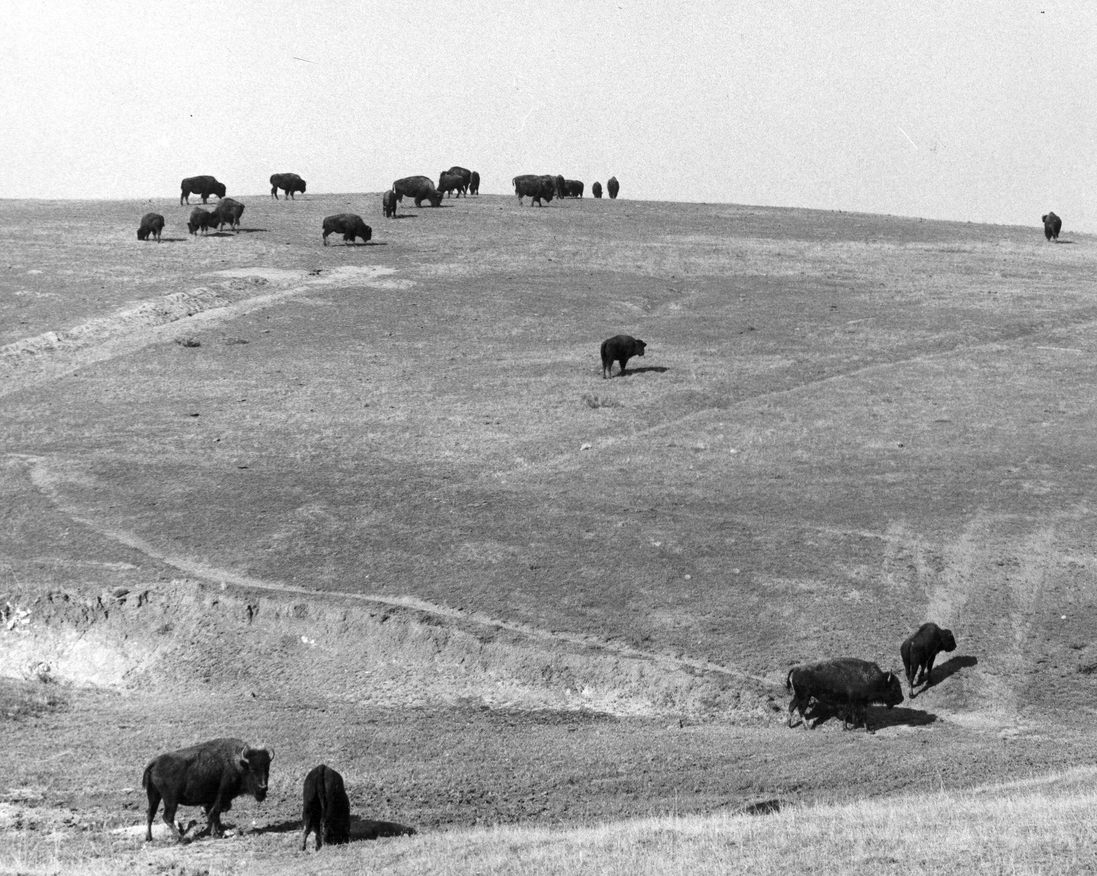 Buffalos on Buffalo Ranch by OC Archives