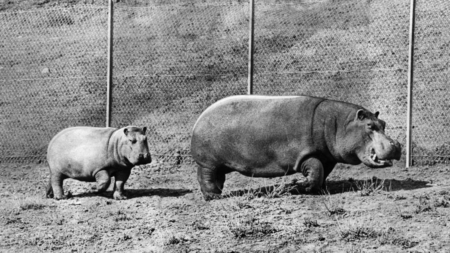 Bubbles the Hippo and her daughter. By LA Times