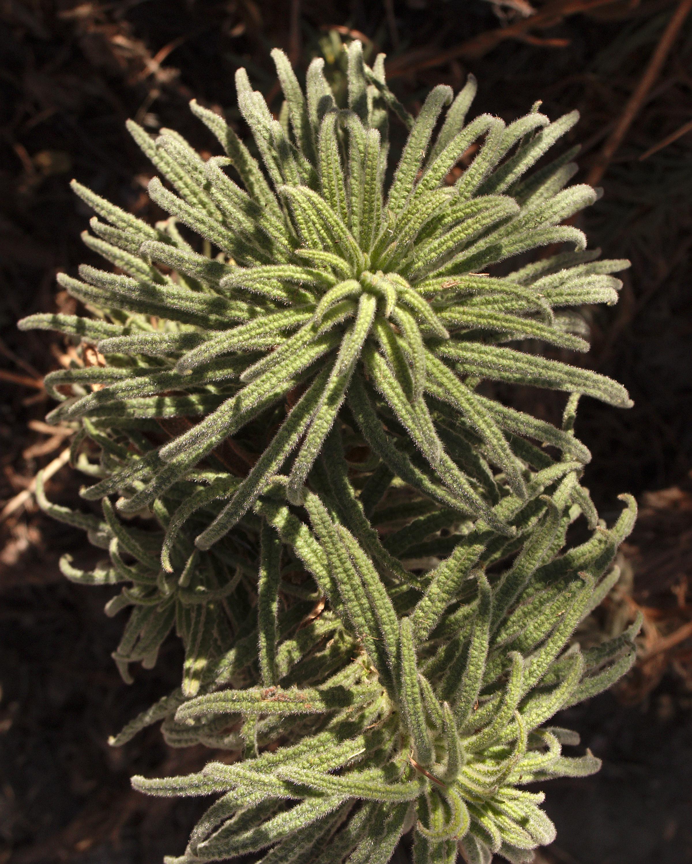 Poodle-dog bush, no flowers
