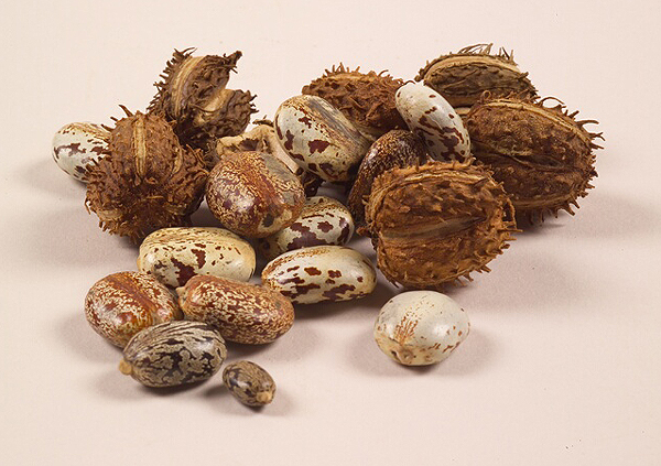 Dried castor bean pods and seeds