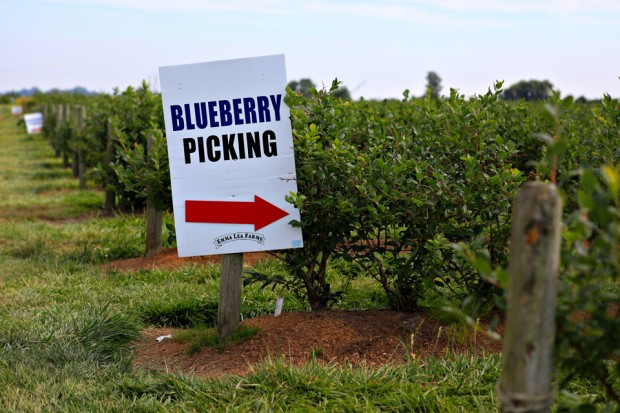 7 blueberry picking vancouver canada