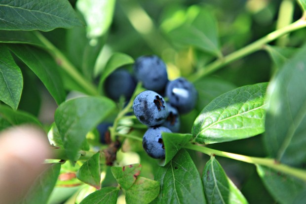 9 blueberry picking vancouver canada