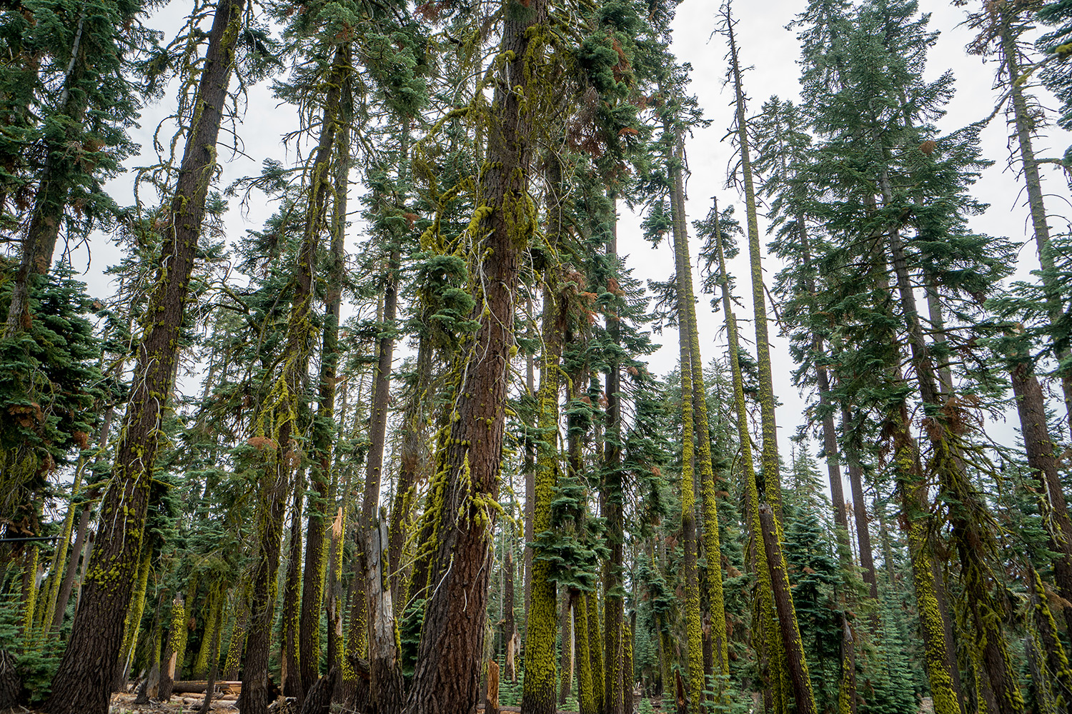 boldly-curious-yosemite-north-rim-day1-trees.jpg