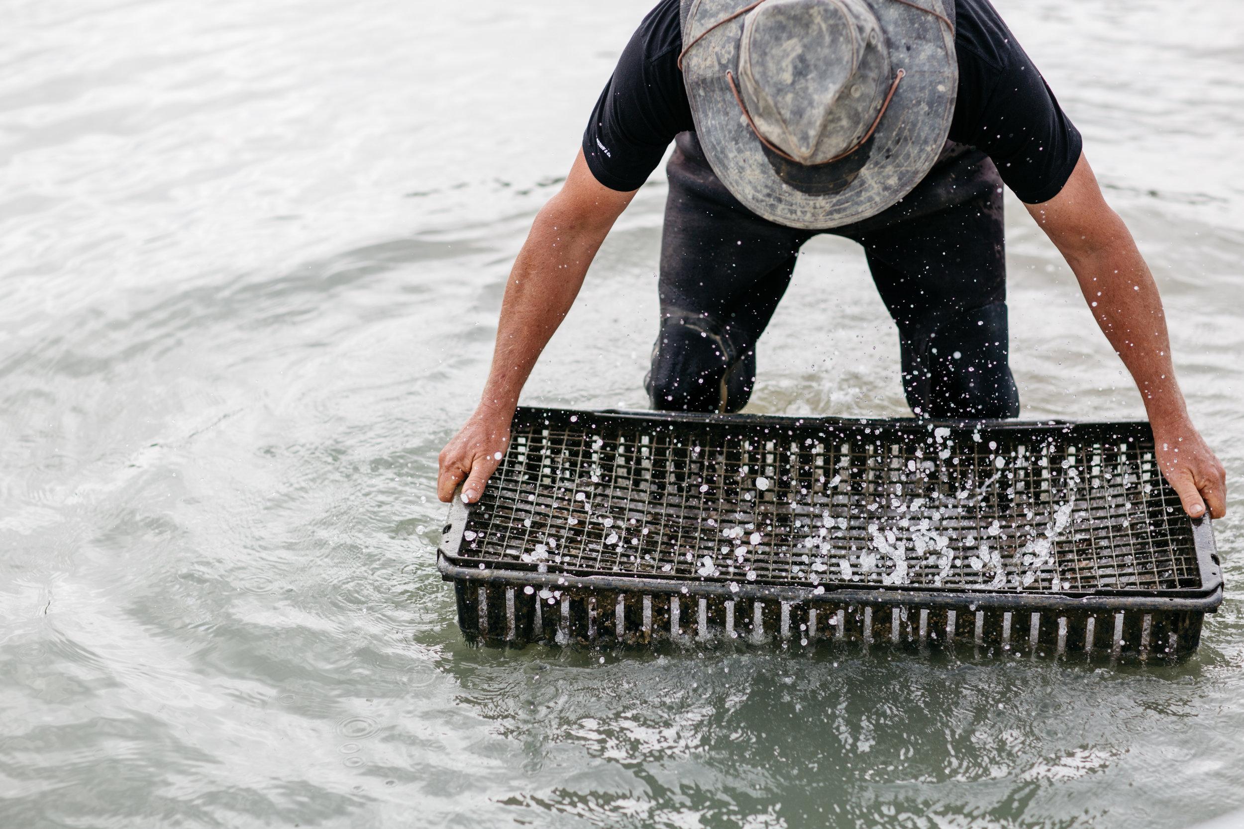 - mahurangi oyster farmers