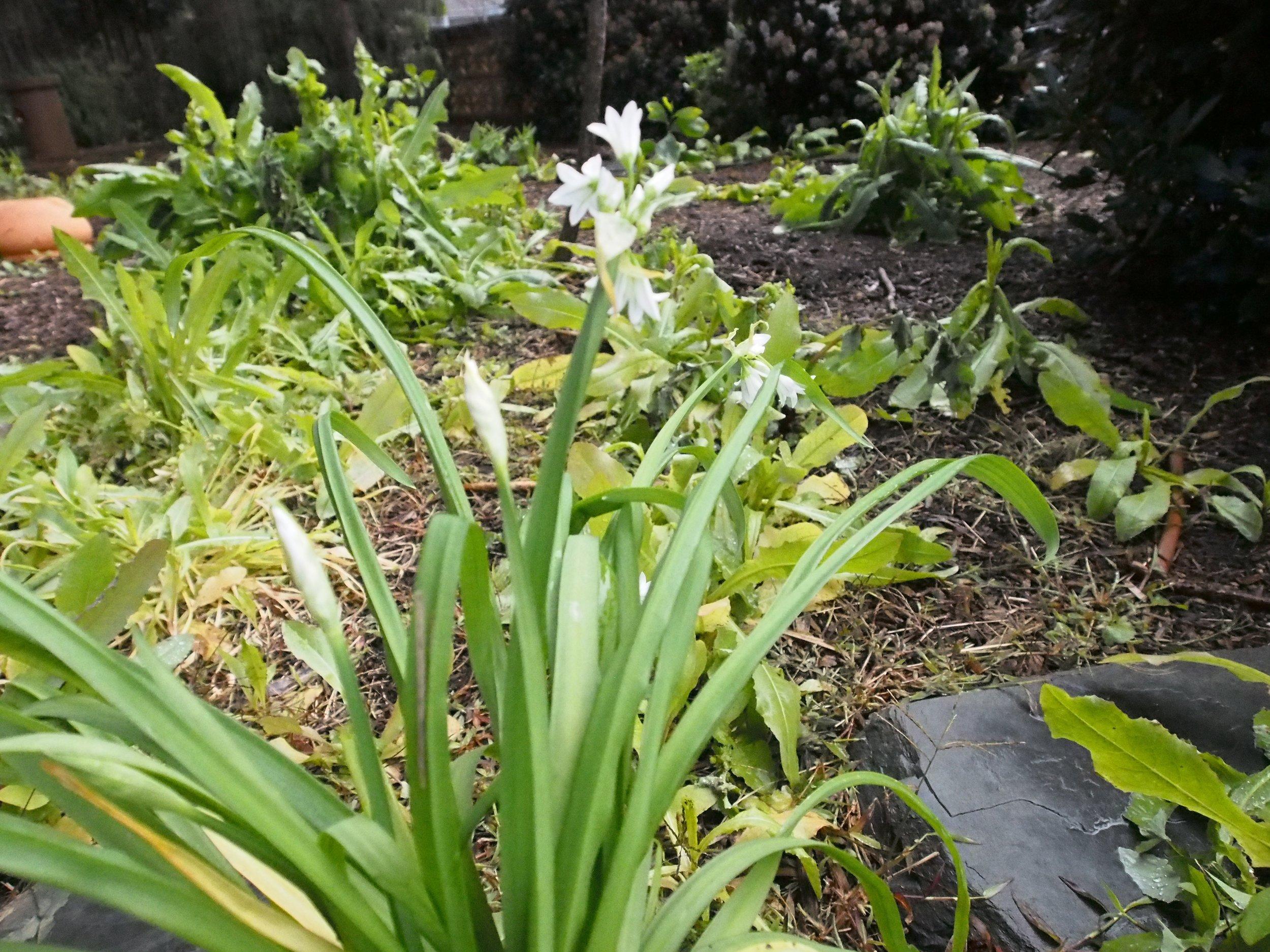 Three -cornered garlic