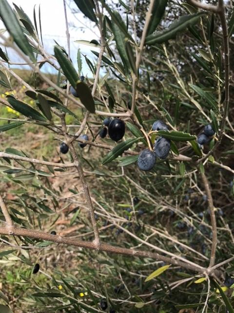 Wild yeast on olives
