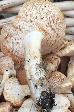 Hedgehog mushroom teeth