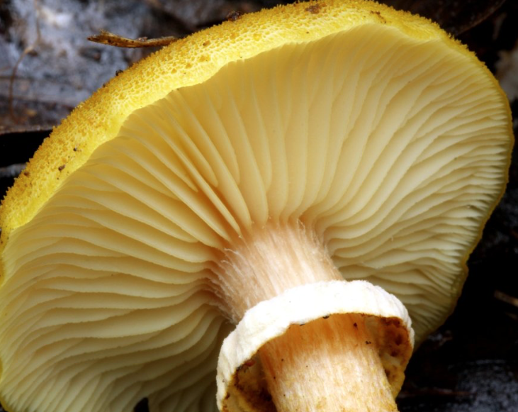 Honey Fungus gills